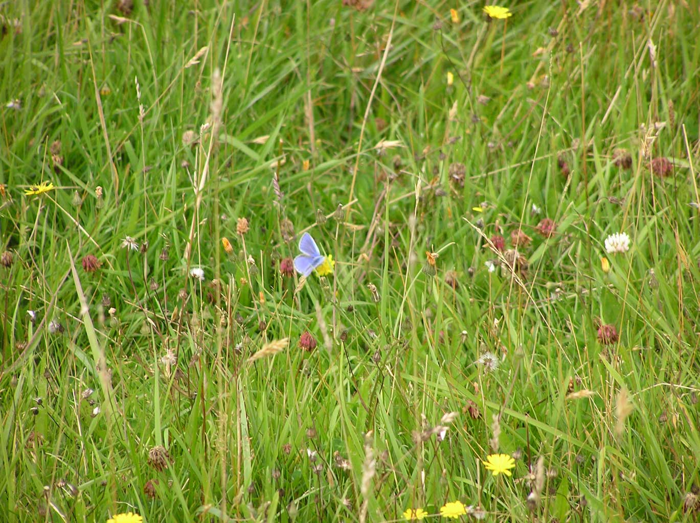 Meadow flowers and Common Blue butterfly in our Back Field