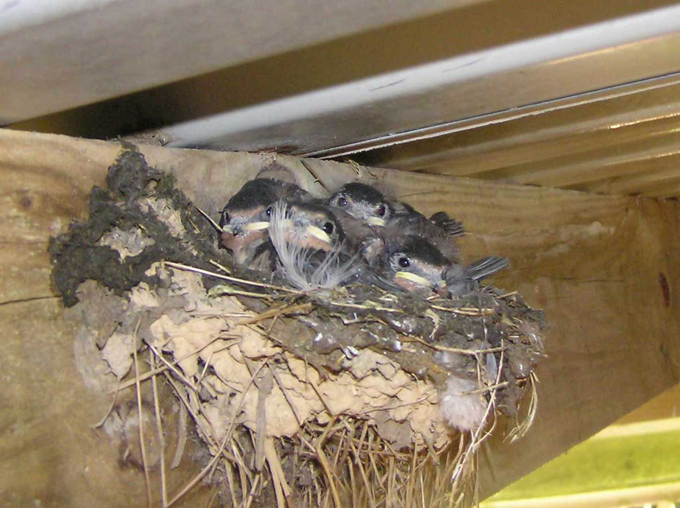 Four baby swallows in our barn